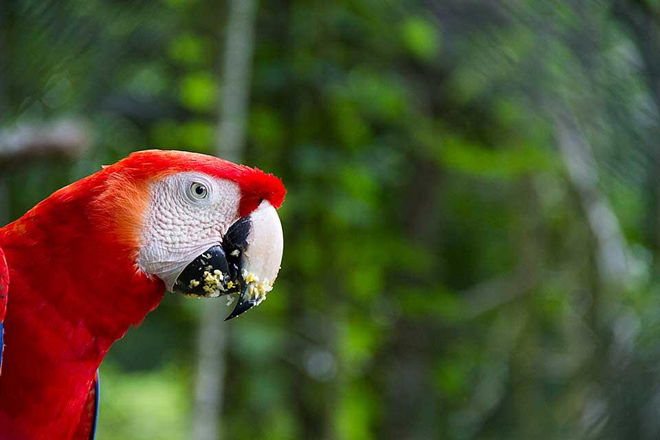 Blue and Gold Macaw, Ara Ararauna, Summit Gardens, Gamboa, Republic of Panama, Central America