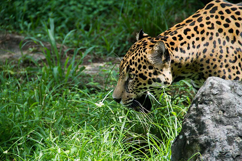 Jaguar americano (Panthera onca)